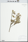 Myrica cerifera L. by John E. Ebinger