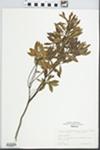 Myrica cerifera L. by R. Dale Thomas