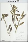 Myrica cerifera L. by Hampton M. Parker