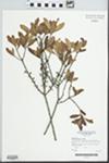 Morella cerifera Small