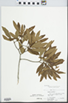 Myrica cerifera L. by N. E. Mullens, C. Leland Rodgers, Andrea Behrman, and Mike Hudson