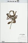 Myrica cerifera L. by T. Harrison