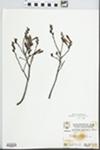 Myrica gale L. by Hampton M. Parker