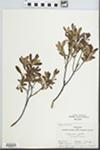Myrica gale L. by Tom Clark