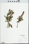 Myrica gale L. by John E. Ebinger