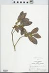 Myrica inodora Bartram by John E. Ebinger