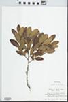 Myrica pensylvanica Mirb. by John E. Ebinger