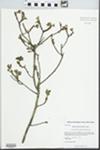 Myrica pensylvanica Mirb. by Kerry Barringer