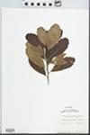 Myrica pensylvanica Mirb. by Margaret Ellington