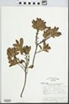 Myrica pubescens Humb. & Bonpl. ex Willd. by Maria Schiavone and A. R. Cuezzo
