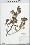 Myrica pubescens Humb. & Bonpl. ex Willd. by Turpe and Lognamo y Lepez