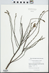 Comptonia peregrina (L.) J.M. Coult. by Kerry Barringer and Jinshaung Ma