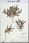Comptonia peregrina (L.) J.M. Coult. by Tom Clark