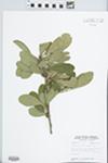 Bumelia lanuginosa Pers. by John E. Ebinger
