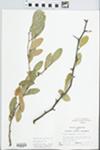 Bumelia lanuginosa Pers. by Randy W. Nyboer