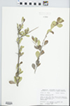 Bumelia celastrina Kunth