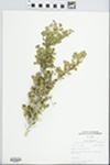 Bumelia celastrina Kunth by Margaret M. Hall