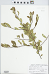 Bumelia lanuginosa Pers. by David S. Seigler and John E. Ebinger