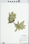 Bumelia lanuginosa Pers.