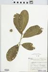 Chrysophyllum gonocarpum (Mart. & Eichler ex Miq.) Engl. by E. Meneses and F. Verveeret