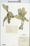 Chrysophyllum gonocarpum (Mart. & Eichler ex Miq.) Engl. by B. Rambo