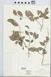 Chrysophyllum marginatum Radlk. by B. Rambo