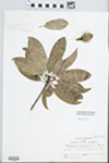 Manilkara zapota (L.) van Royen