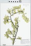 Sideroxylon celastrinum (Kunth) T.D. Penn. by J. Richard Abbott