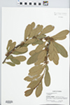 Sideroxylon lanuginosum Michx. by J. Richard Abbott