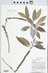 Sideroxylon salicifolium (L.) Lam. by J. Richard Abbott