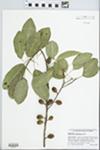 Sideroxylon foetidissimum Jacq. by J. Richard Abbott