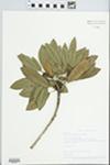 Sideroxylon foetidissimum Jacq. by Betty Nelson, Roy Nelson, and LaVerne Sumner