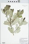 Sideroxylon inerme L. by J. Richard Abbott
