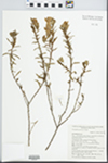 Eremophila goodwinii F. Muell.
