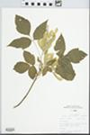 Acer negundo L. by Douglas J. Haug