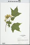 Acer nigrum Michx.f. by Paul D. Sorensen
