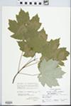 Acer rubrum subsp. drummondii (Hook. & Arn. ex Nutt.) E. Murray