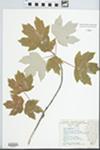 Acer drummondii Hook. & Arn. ex Nutt. by Linda Kruger