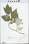 Acer rubrum var. trilobum Torr. & A. Gray ex K. Koch