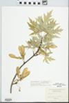 Acer saccharinum var. laciniatum Pax