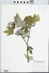Acer saccharinum L. by W. E. McClain