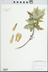 Acer saccharinum L. by John E. Ebinger