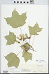 Acer nigrum Michx.f. by Virginius H. Chase
