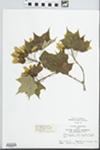 Acer saccharum Marshall