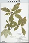 Acer maximowiczianum Miq.