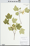 Acer glabrum var. glabrum Torr. by Barbara Ertter and Conatance Lincoln
