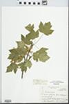 Acer glabrum subsp. douglasii (Hook.) Wesmael
