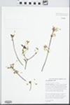 Acer leucoderme Small