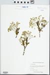 Acer platanoides L. by Lelsie J. Mehrhoff