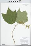 Acer pensylvanicum L.